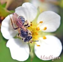 Wild strawberry flower.. wasp by madlynx