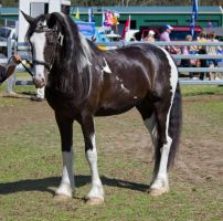 STOCK - Canungra Show 2012 179 by fillyrox