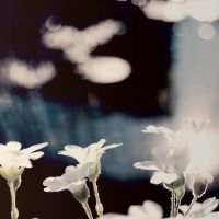 les fleures by CocoaDesert