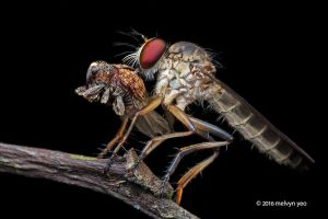 Robberfly with weevil prey by melvynyeo
