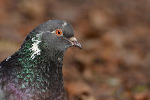 Bokeh pidgeon by melodi996