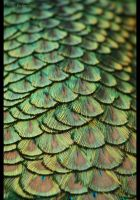 Peacock I by the-beautiful-game