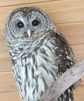 Hamlet the Barred Owl 3a by Windthin
