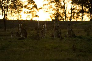 Roos at Sunset by jukeboxandy