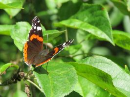 Red Admiral 4 by Temansha