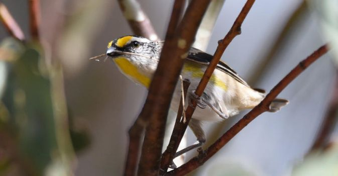 Striated Pardalote 9037 by DPasschier