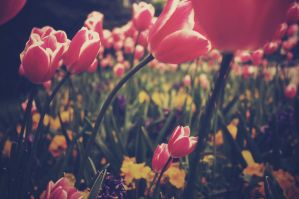 Through the tulips by CrystalisedX