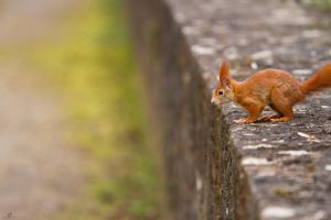 Squirrel on the run by KrisSimon