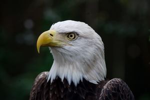 Bald Eagle II LPZ102607 by hoboinaschoolbus