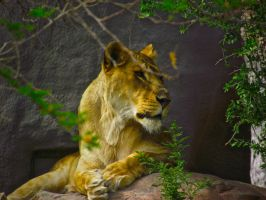 Watchful Lioness by IcejCat