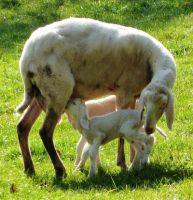 newborn lambs by Cadaska