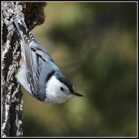 White Breasted Nuthatch by JAHarrell