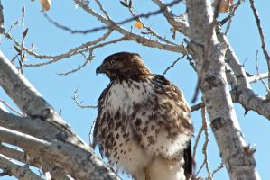 Juvenile Red Tail Hawk by Blue-BirdPhotography