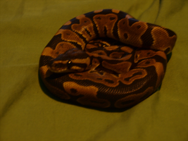 Ball python by Spriinkles