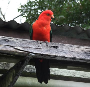 King Parrot Roosting by HumaDragonbane