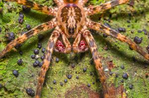 Male Madagascan Spider by JohnHPhotography
