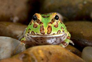 Horned frog  juvenile 1 by AngiWallace