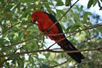 King Parrot by Primal-Fury