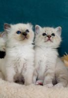 birman brothers by amigaboi