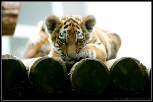 Relaxing Tiger Cub by AF--Photography