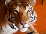 Tigre by chanyto