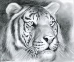 Tiger by gregchapin