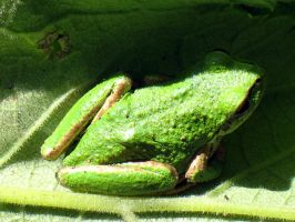 Pacific tree frog by who-scared-you