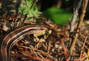 Skink by rooster82
