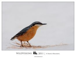 Nuthatch by MarcoBrambini