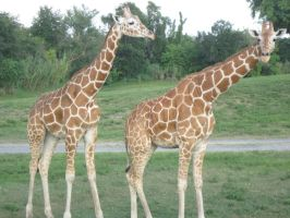 Stock: Giraffe 22 by equizotical