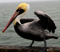 Pelican by vfrrich