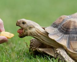 Sulcata eating pumpkin by stompy05