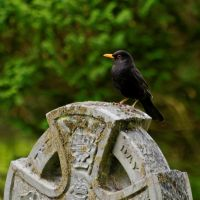 Blackbird rest. by quaddie
