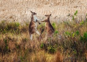 Kangaroo Fight by DrewHopper