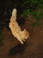 Cat: Ginger Cream 1 by somnia-stock