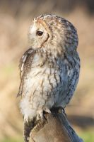 Tawny owl from the side by AngiWallace