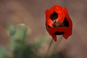 Poppy Passion by dove-51