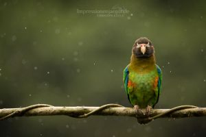 Parrot in the rain by chriskaula
