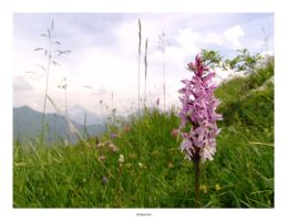 F04:Alpine Orchid by cubemb