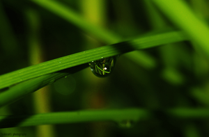 Morning Dew by Syakster