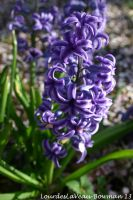 Heavenly Hyacinth by LOURDES-LAVEAU