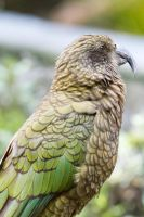 Kea by ARC-Photographic