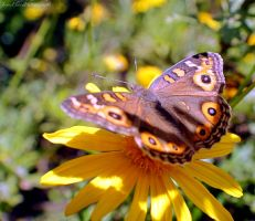 Meadow Argus Butterfly by Elvenred