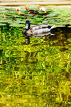 The mirror of the duck by Inarita