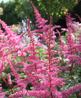 Pink Astilbe by RiverW