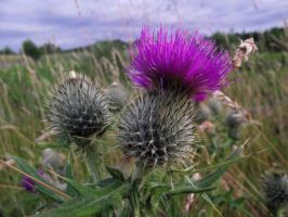Thistle by D1scipl31974