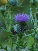 Thistle 01 by botanystock