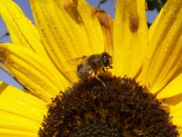 Sunflower and bee by Achatina