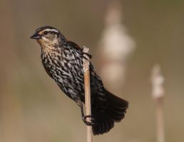 RedWinged Juvenile Male by barcon53