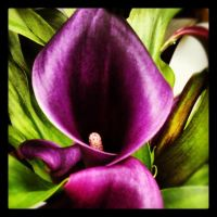 Purple  calla lily by tastybedsore